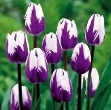 USA-50 seed Bonsai Tulip Seeds Rare Purple& White Flower rose (Not Bulbs)