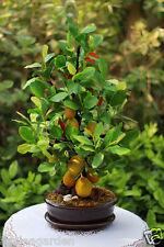 Rare Imported Dwarf Bonsai Jackfruit 5 Seeds, 100% Fresh and Clean seeds