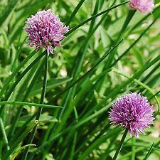 150 Graines BIO de Ciboulette - Allium schoenoprasum - Aromatique - civette cive
