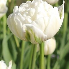 10 x Mount Tacoma Tulip Bulbs. Double Late blooms. Easy to grow. Spring Flowers