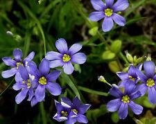 blue-eyed grass, Flowering Perennial, 415 seeds! GroCo