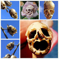 New Rare Rose Pods Skull And Mysterious Plant Species Of Snapdragon Flower Seed