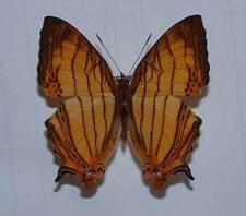 CYRESTIS LUTEA DOLIONES - unmounted butterfly