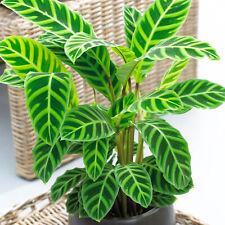 Calathea Zebrina Decorative Indoor 30-40cm Potted Houseplant