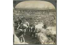 CATTLE, RANCHER, CITY/SMOKESTACKS IN BACKGROUND, STEREOVIEW