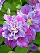 Clematis Hybrid 'PIILU' Large Flowering Plug Plant climbing shrub
