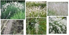 Beautiful Pure * White * Wild Fountain Grass 50 Seeds