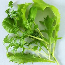 MESCLUN - SWEETLEAF MIX - 1200 seeds [..a blend of sweeter tasting salad leaves]