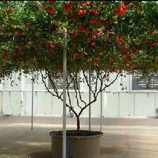 TOMATO Giant Tree Heirloom Seeds (V 556)