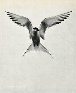1950s Vintage ELIOT PORTER Tern Bird Flying Sea Gull Sky Photo Gravure Art 8X10