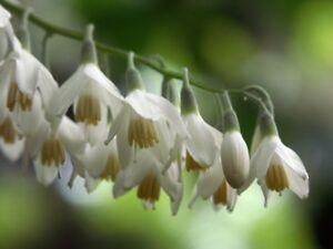10 Semillas de Styrax obassia