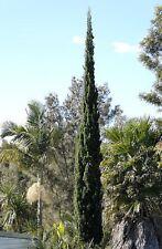 12 graines de CYPRES D' ITALIE(Cupressus Sempervirens)G675 ITALIAN CYPRESS SEEDS