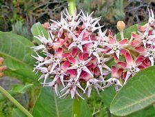 Asclepias speciosa (Showy Milkweed) x 10 seeds. Perennial.