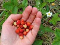 "Fragaria vesca var. semperflorens ""Golden Alexandria"" 100 Samen Walderdbeere"