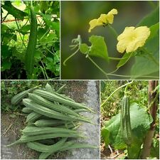 Angled gourd 20 Seeds, Angled loofah, Ridge gourd, Vegetables Seeds, From Thai