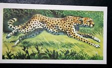 CHEETAH    Superb  Vintage Colour Card # VGC