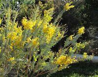 RARE EDIBLE KNIFE-LEAF WATTLE,Acacia cultriformis,Bush Tucker,Flowers,Flour