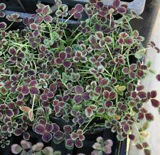3 X Trifolium Repens 'Purpurescens' -Evergreen Perennial, Alpine ,  Plug Plants