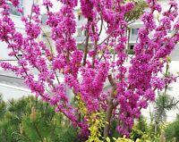 Winterharte tolle Blüten Strauch Samen der Liebesbaum Gartenpflanze Terrasse