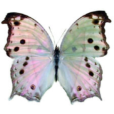 Salamis parhassus One Real Butterfly Pink Purple Africa Unmounted Wings Closed