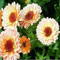 Calendula Pot Marigold- Pink Surprise- 50 Seeds - - BOGO 50% off SALE