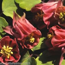 AQUILEGIA BURNISHED Columbine Rose Granny's Bonnet wildflower perennial 60 seeds