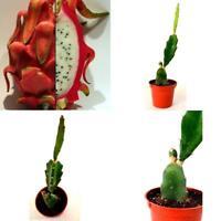 "Dragon Fruit Plant Hylocereus Pitaya/Strawberry Pear 3"" Pot Garden Cactus New"