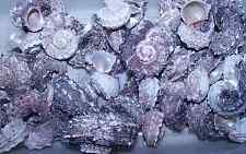 LOT 6  PINK DELPHINULA hermit crab sea shells seashell ITEM # 1030-6