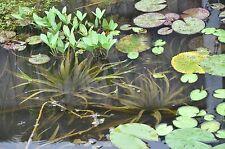 7x Krebsschere zyklische Schwimmpflanze f jedenTeich Jungpflanzen ab Ende März