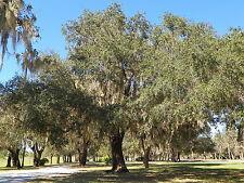 LIVE OAK TREE (QUERCUS VIRGINIANA) GUARANTEED LIVE PLANT