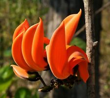 3 GRAINES DE FLAMME DE LA FORÊT(Butea monosperma)FLAME OF THE FOREST SEEDS SAMEN