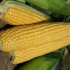 Kings Seeds - Sweet Corn Lark F1 - 50 Seeds