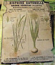 Ancienne Carte Scolaire Règne Végétal Blé Oignon en Fleur  EO  DEYROLLE 1920