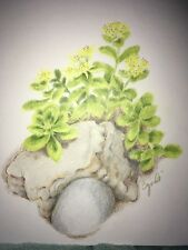 COLORED PENCIL drawing sedum flowers