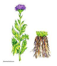 Hirschwurzel Rhaponticum carthamoides Heilpflanze 10 Samen VERSANDKOSTENFREI !!!