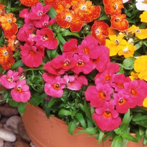 100 Mixed Perennial Flower Seeds Scented UK Hardy Colourful Nemesia Strumosa