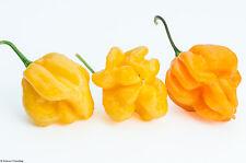 Yellow Scotch Bonnet Chili Pepper Seeds - Firey Hot  X Chilli Variety - 25 Seeds