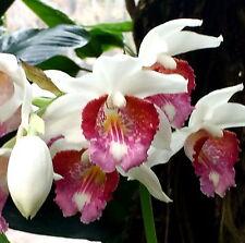 phaius ESPECIES ´BLANCO PRIMAVERA´ XL Planta Fragancia Orquídea Orquídeas
