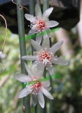 Rhipsalis Cactus Cacti Succulent - Puniceo-Dis R1 - Cutting (Will Combine Post!)