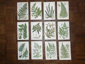 Antique 19th Century Botanical Lithographs-Ferns - Set of 12