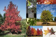 New listing Northern Sweetgum 200 seeds. trees, seeds
