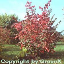 Ailes Broche arbuste korkflügelstrauch 100-125cm - Euonymus alatus