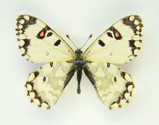 Unmounted Butterfly/Papilionidae - Hypermnestra helios persica, male, Iran