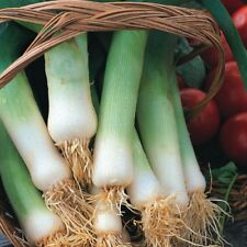 Vegetable Leek  Musselburgh Min 1500 seeds