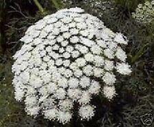 Zahnstocher ernten von dieser schönen Blume !
