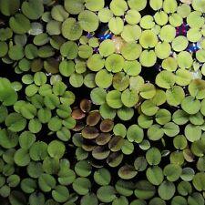 Salvinia minima aquarium floating plant