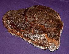 Dinosaurier-Knochen, grosse Scheibe, Fossil, 328,4g 177x138x8mm USA, Utah 化石