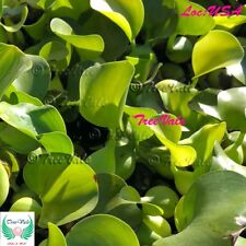 Water Hyacinth Plant - POND PLANT flower KOI POND PLANTS