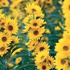 100+MAXIMILIAN (Prairie) SUNFLOWER Seeds American Native Wildflower PERENNIAL