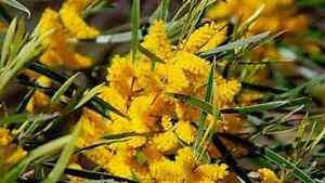 Acacia acuminata / Raspberry Jam Wattle Narrow Form  - 30+ Seeds